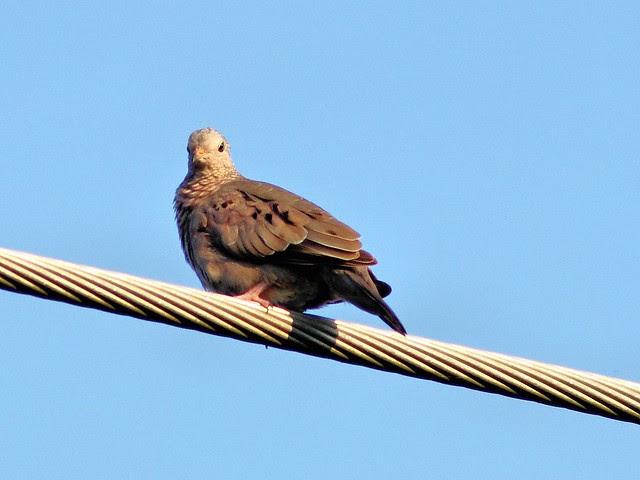 Common Ground-Dove 20130525