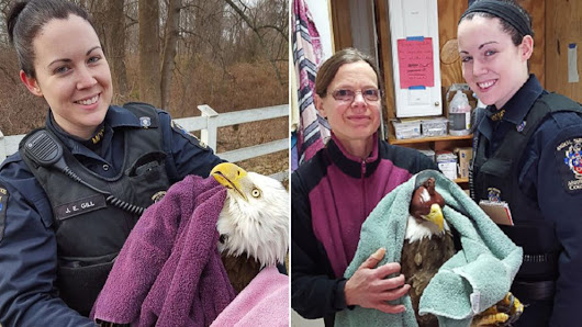 Eagle Injured So Badly It Couldn't Fly Rescued by Maryland Police - ABC News