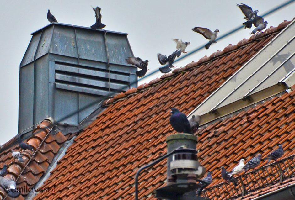 Download 620+  Gambar Burung Merpati Berhadapan  Paling Bagus Free