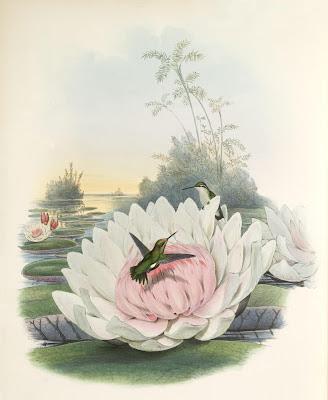 Chlorostilbon poortmanni - hummingbird drawing