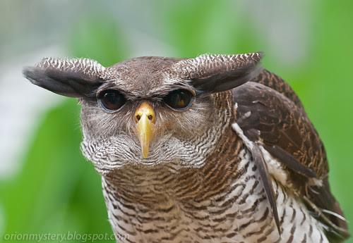 IMG_6024 copy Barred Eagle owl Bubo sumatranus