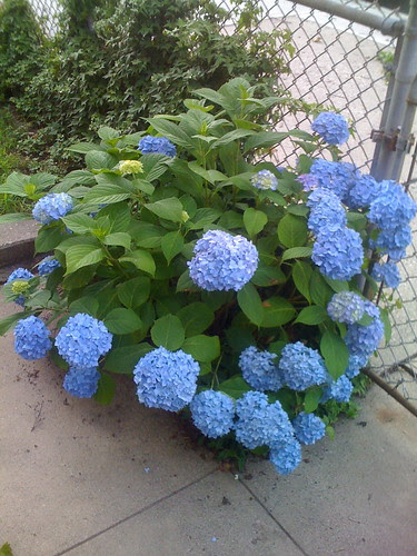 Hydrangeas in the front garden