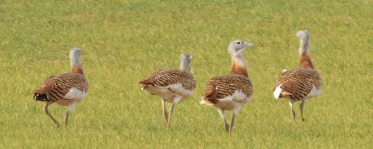 Nobility on the Steppes - The Great Bustard - Oretani Wildlife