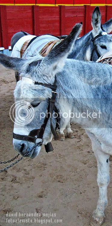 Burros en la plaza de toros móvil de Chinchón, Madrid, enclavada en la misma plaza del pueblo