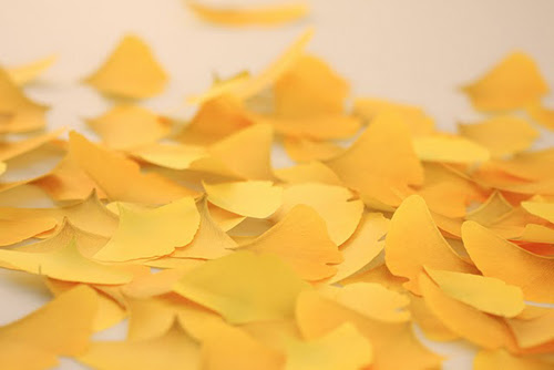 leaf-it Ginkgo 03