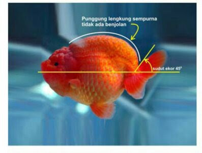 Download 6400 Cara Gambar Ikan Mas Koki Terpopuler