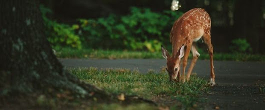 Are Deer Eating All  of your Landscape Plants?