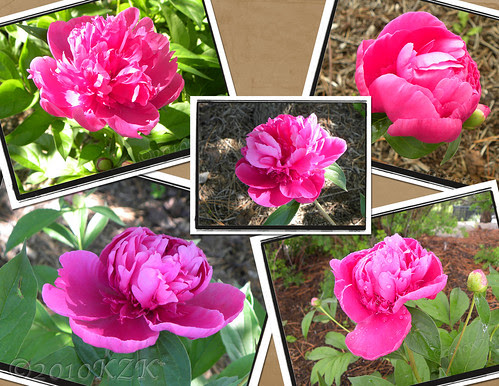 CollagePeonies1