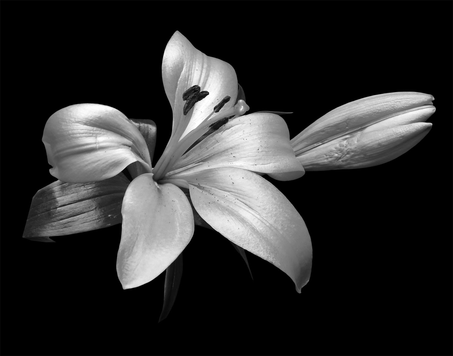 Classic Black And White Flowers Art Photo Web Studio