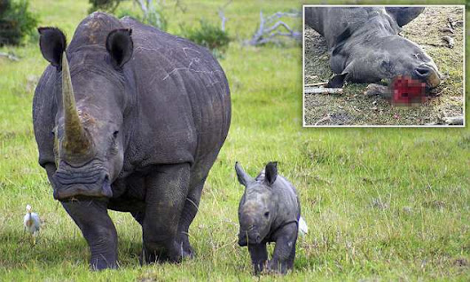 Rhino killed by poachers for less than an INCH of horn