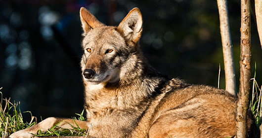Court Stops US Fish & Wildlife Service from Jeopardizing Red Wolf Survival | Animal Welfare Institute