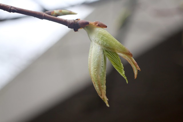 elm buds, april 2011
