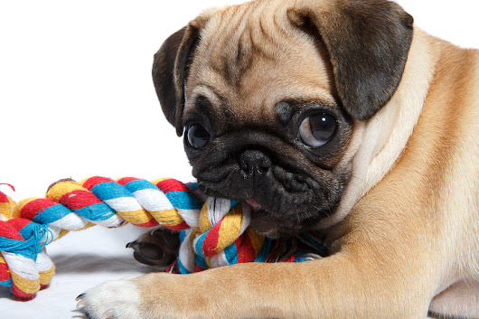 The search for the perfect dog chew toy - Dr. Marty Becker