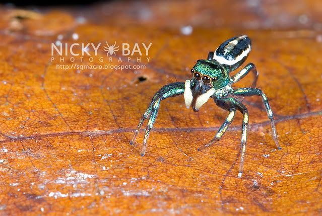 Jumping Spider (Salticidae) - DSC_9896