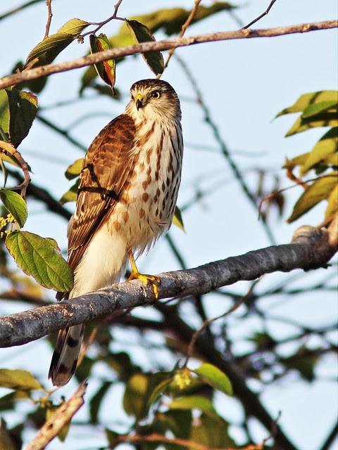 Sharp-shinned Hawk 20131123