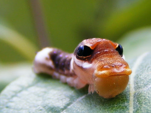 Caterpillar in Disguise por moonpie dig it