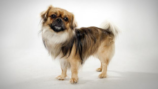 Tibetan Spaniel : Dog Breed Selector : Animal Planet