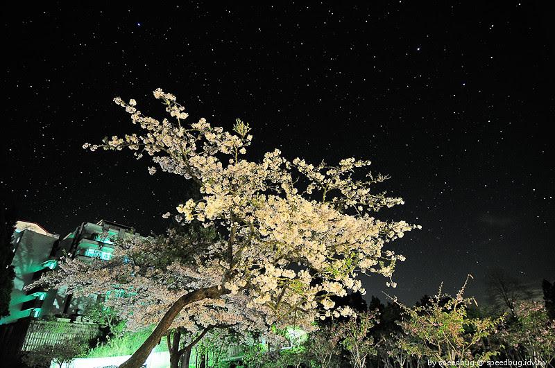 阿里山櫻花季4