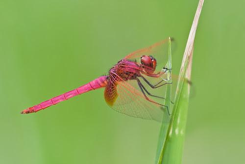 male crimson dropwing trithemis aurora IMG_6555edit copy