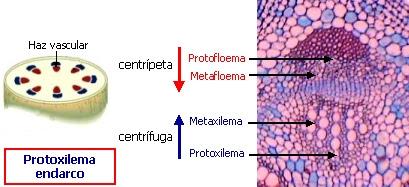 Posición de los tejidos vasculares en un haz vascular de Bidens pilosa