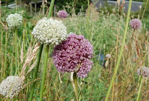 mixed leek flowers