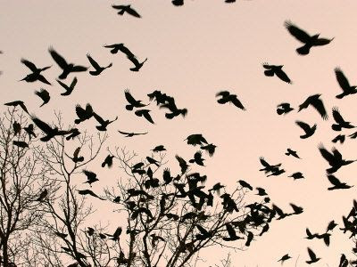 Crows Flying Away