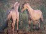 cavalos-sorraia1
