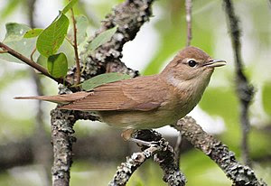 English: Sylvia borin (Garden Warbler in Tybbl...
