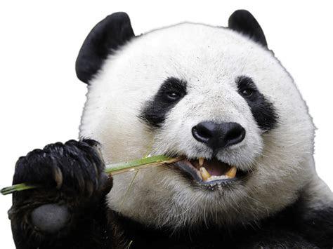 eating panda transparent png stickpng