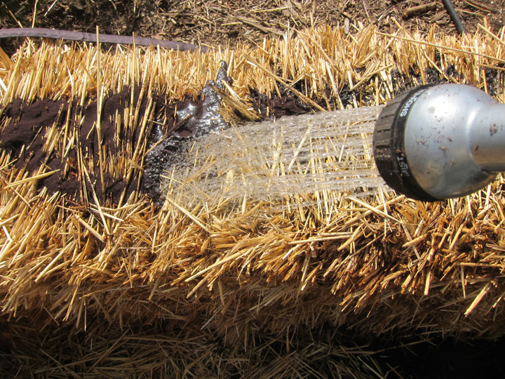 watering fertilizer into a straw bale garden