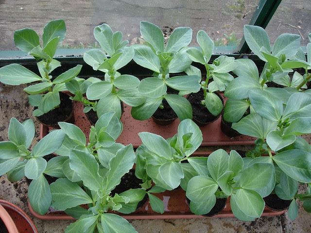 Spring veggies 2011 (5)