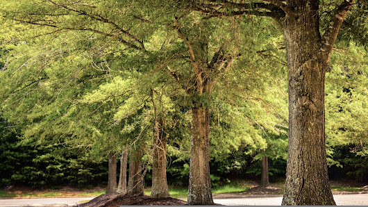 Willow Oak: A Handsome Southerner • Arbor Day Blog