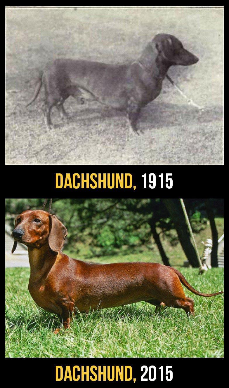 razas perro evolucion 6