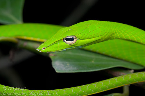 Oriental Whip Snake (Ahaetulla prasina) IMG_2480 copy