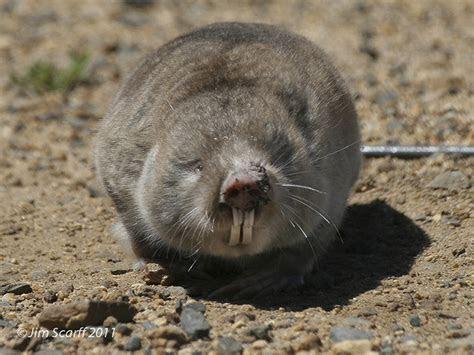 Cape Dune Mole Rat (Bathyergus suillus)   Flickr   Photo Sharing!