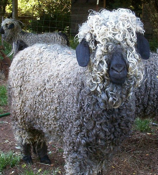 File:Colored Angora Goat.jpg