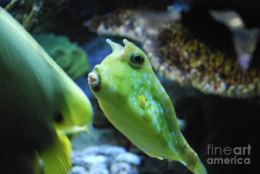 Green Hue To A Longhorn Cowfish In The Ocean