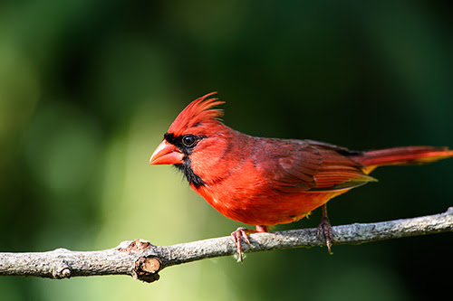 Northern Cardinals in Full Color