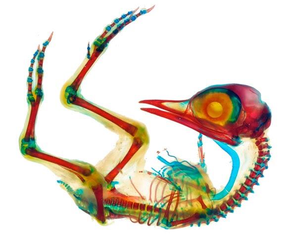 Limpar e manchado de embrião de galinha - Crédito de imagem: ID da imagem: 103824863, Direitos de Autor: Pedro Bernardo via Shutterstock.com