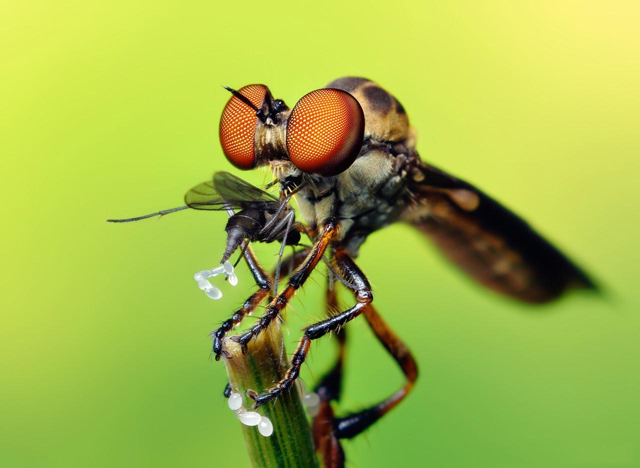 http://upload.wikimedia.org/wikipedia/commons/a/a4/Robber_Fly_with_prey_(Holcocephala_fusca)_by_Thomas_Shahan.jpg