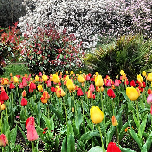 Tulips and blossom in the park