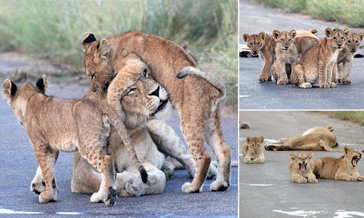 What a snarl-up: Adorable lion cubs wrestling on the road