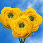 Ranunculus Yellow 40Cm 5 Bunches by GlobalRose