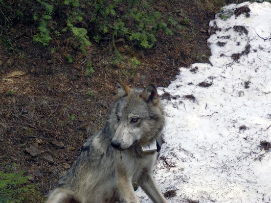 The Social Tolerance of Wolves in Kittitas Valley