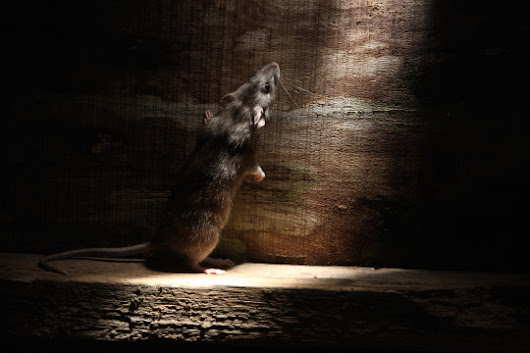 What to do About Rodents in the Attic