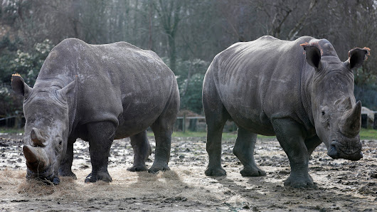 Poachers Break Into French Zoo, Kill White Rhino And Steal His Horn