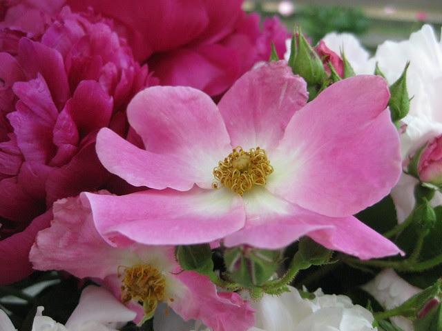 peonies and roses IV