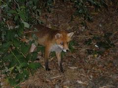 Neighbourhood fox