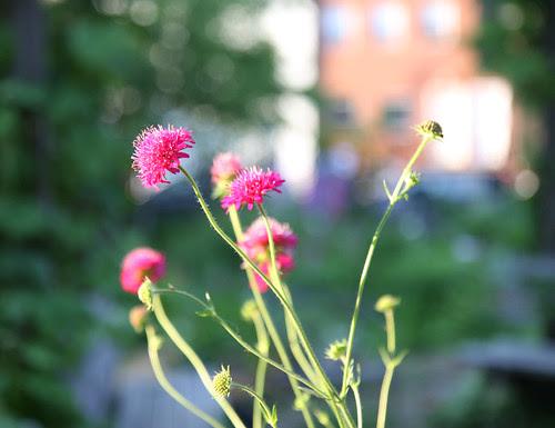 Flower in Community Garden, Brooklyn