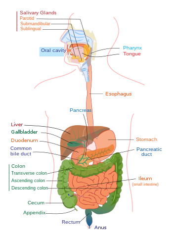 diagram of a human digestive system